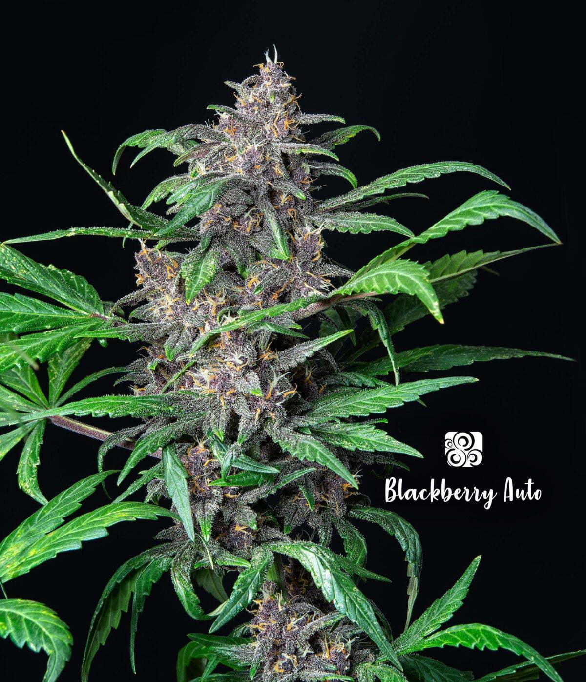 Blackberry Auto 1 1