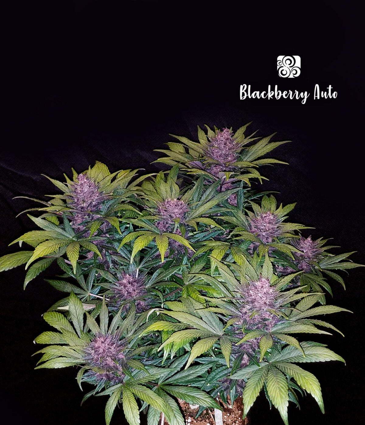 Blackberry Auto 2 1
