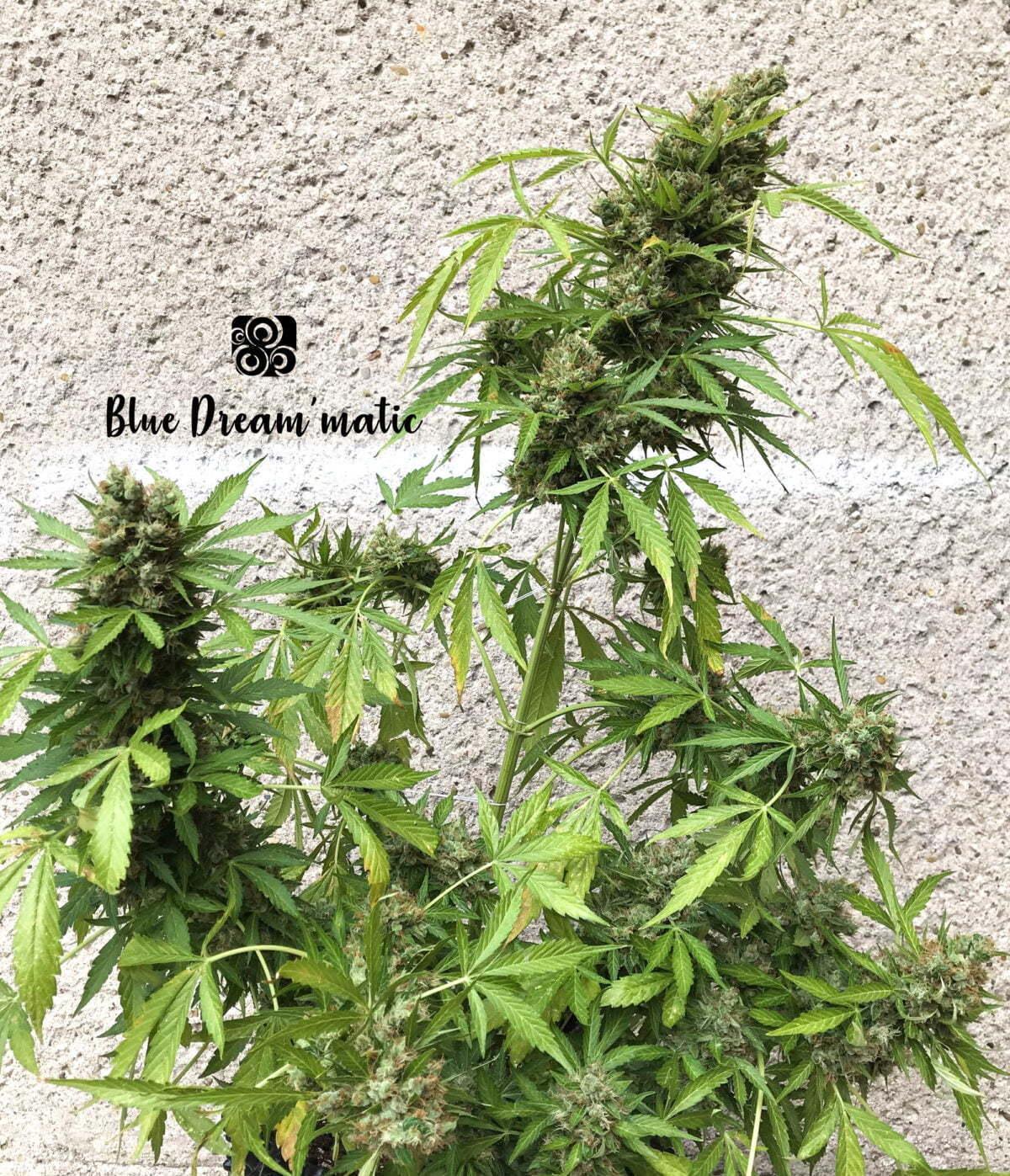 Blue Dream Auto 3 1