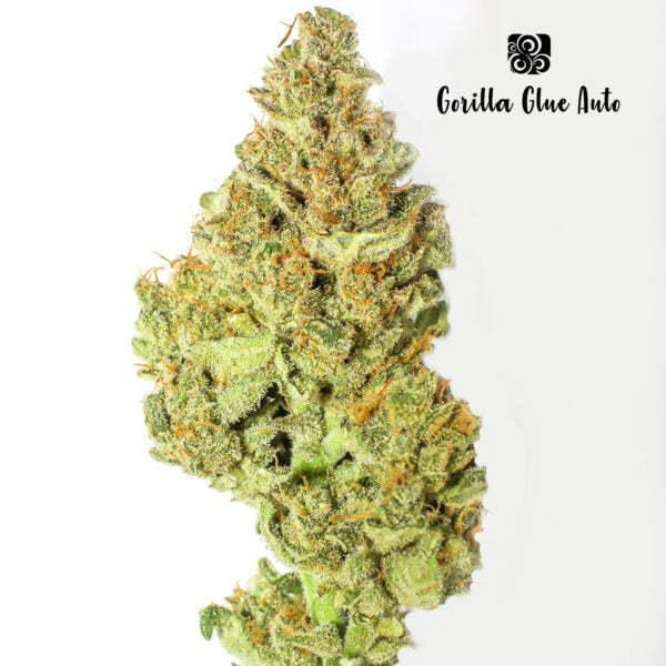 Gorilla Glue Auto 5 1