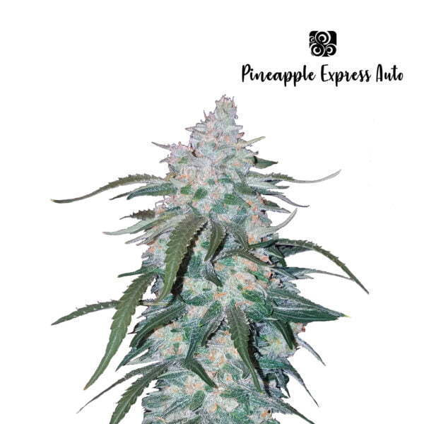 Pineapple Express Auto 4 1