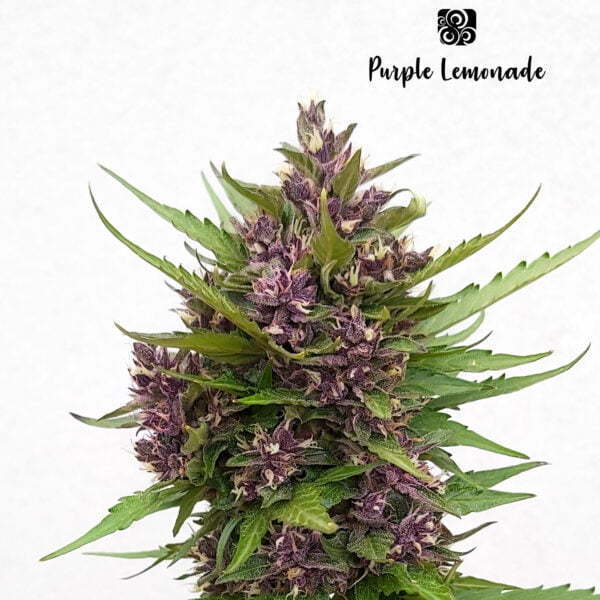 Purple Lemonade 1 1