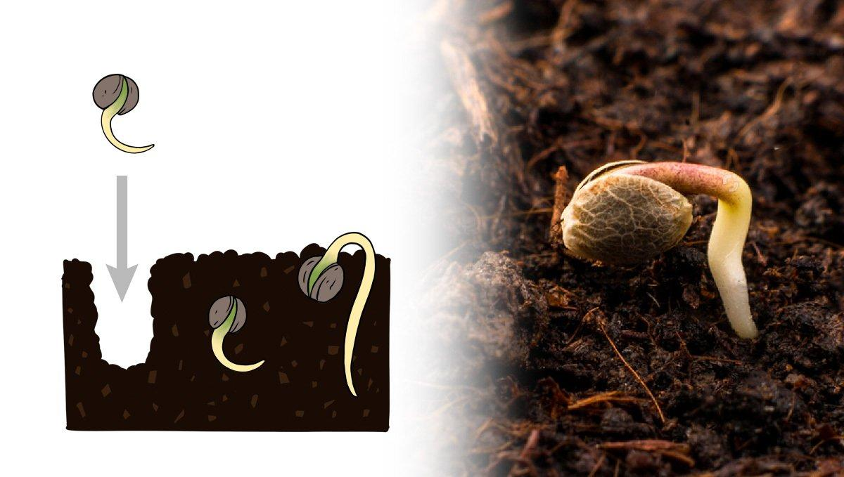 Germination Guide for Autoflowering Seeds