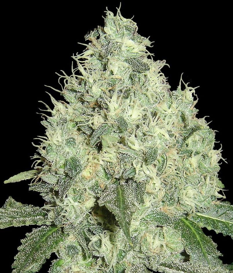91 Krypt Regular Seeds - Limited Collection-DNA-91-Krypt