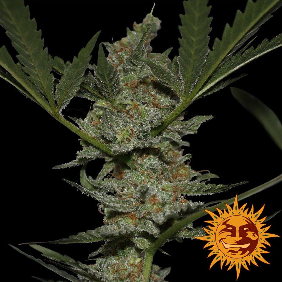 Феминизированные семена Acapulco Gold-BFSACG-F1