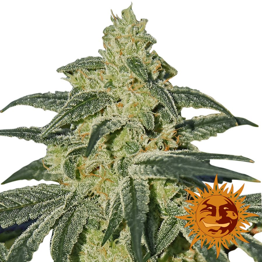 Afghan Hash Plant Regular Seeds - 10-BFSAHP-Reg-10