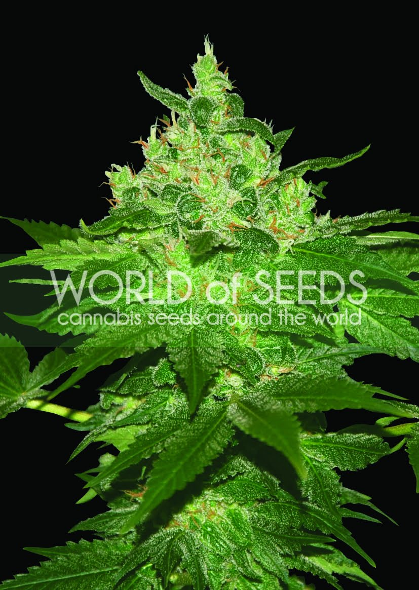 Afghan Kush Feminised Seeds-WOS3-4050841