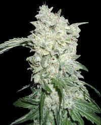 Афганські куші спеціальні фемінізовані насіння-WOS12-4032220