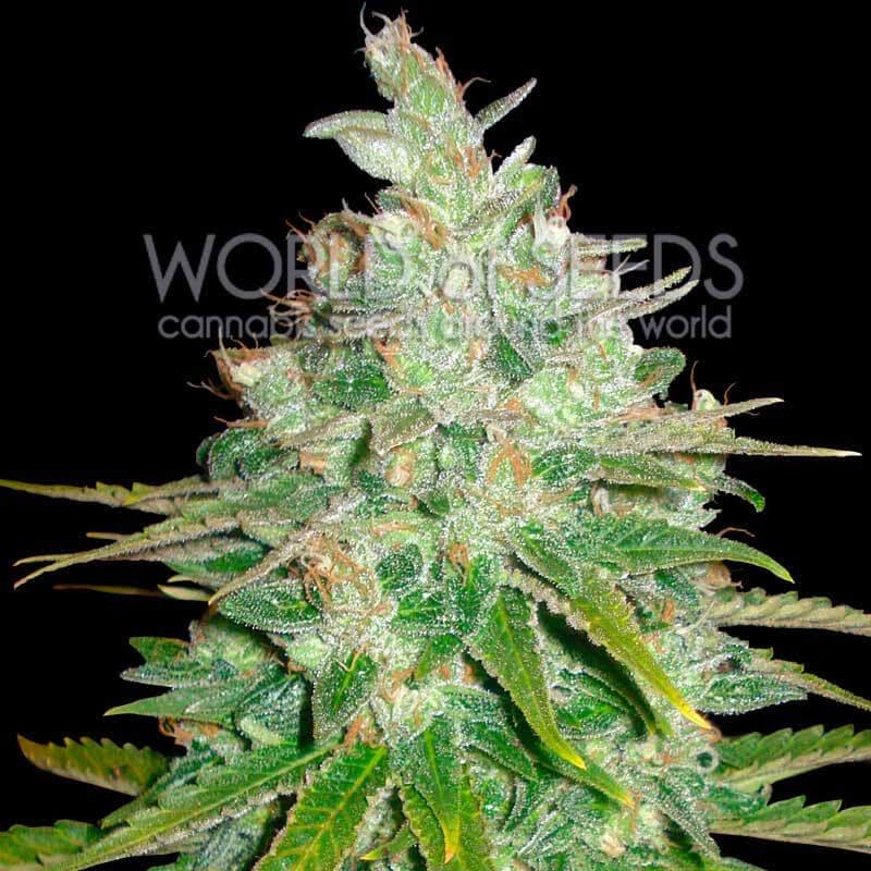 Афганський куш х Чорне доміна фемінізовані насіння-WOS-AFKBD-FEM-12