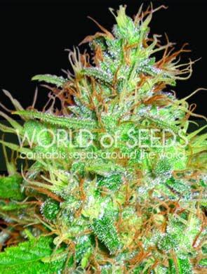 Afghan Kush x Skunk Feminised Seeds-WOS-AFSK-FEM-12
