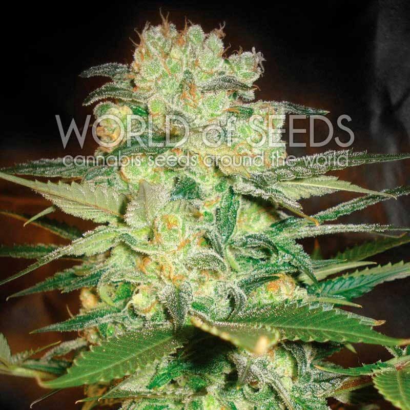Афганський куш х Білі вдови фемінізовані насіння-WOS-AFKWW-FEM-12