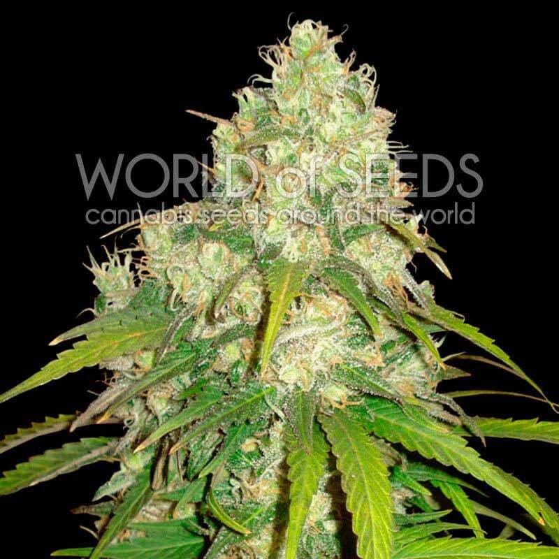 Афганський куш х Юмболт фемінізовані насіння-WOS-AFKYUM-FEM-12
