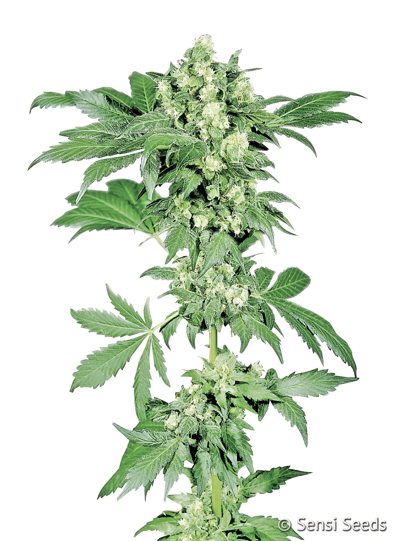 Afghani #1 Feminised Seeds-SEN1560022