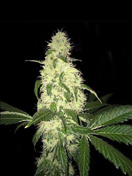 Афганские ягоды обычные семена (ограниченный выпуск) - 5-THS-AFBERRY-REG-5