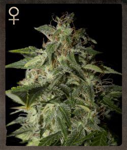 Afgooey Фемінізовані насіння-SH-AFGO-10