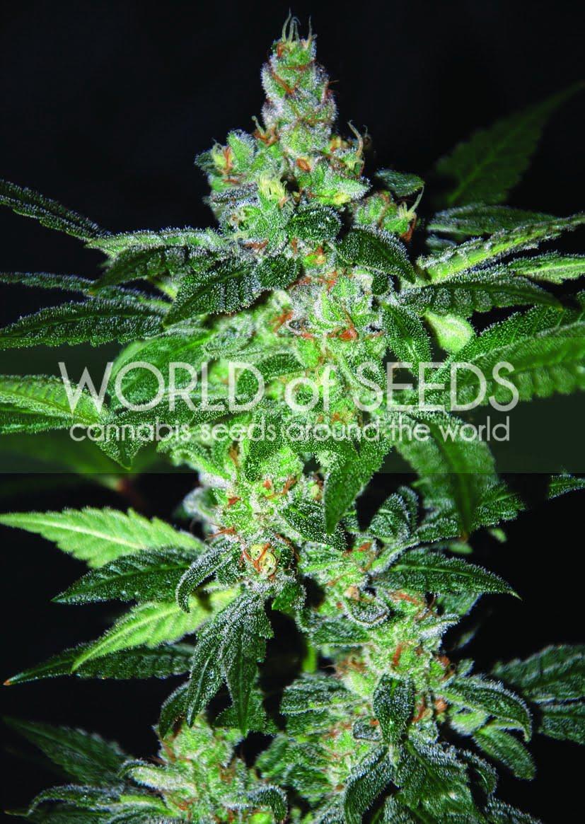 Феминизированные семена Amnesia-WOS3-4050943