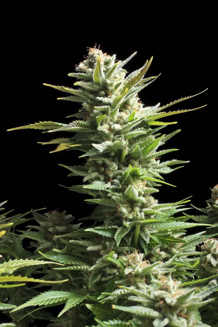 Феминизированные семена Amnesia Haze-RQS-AH-Fem-10