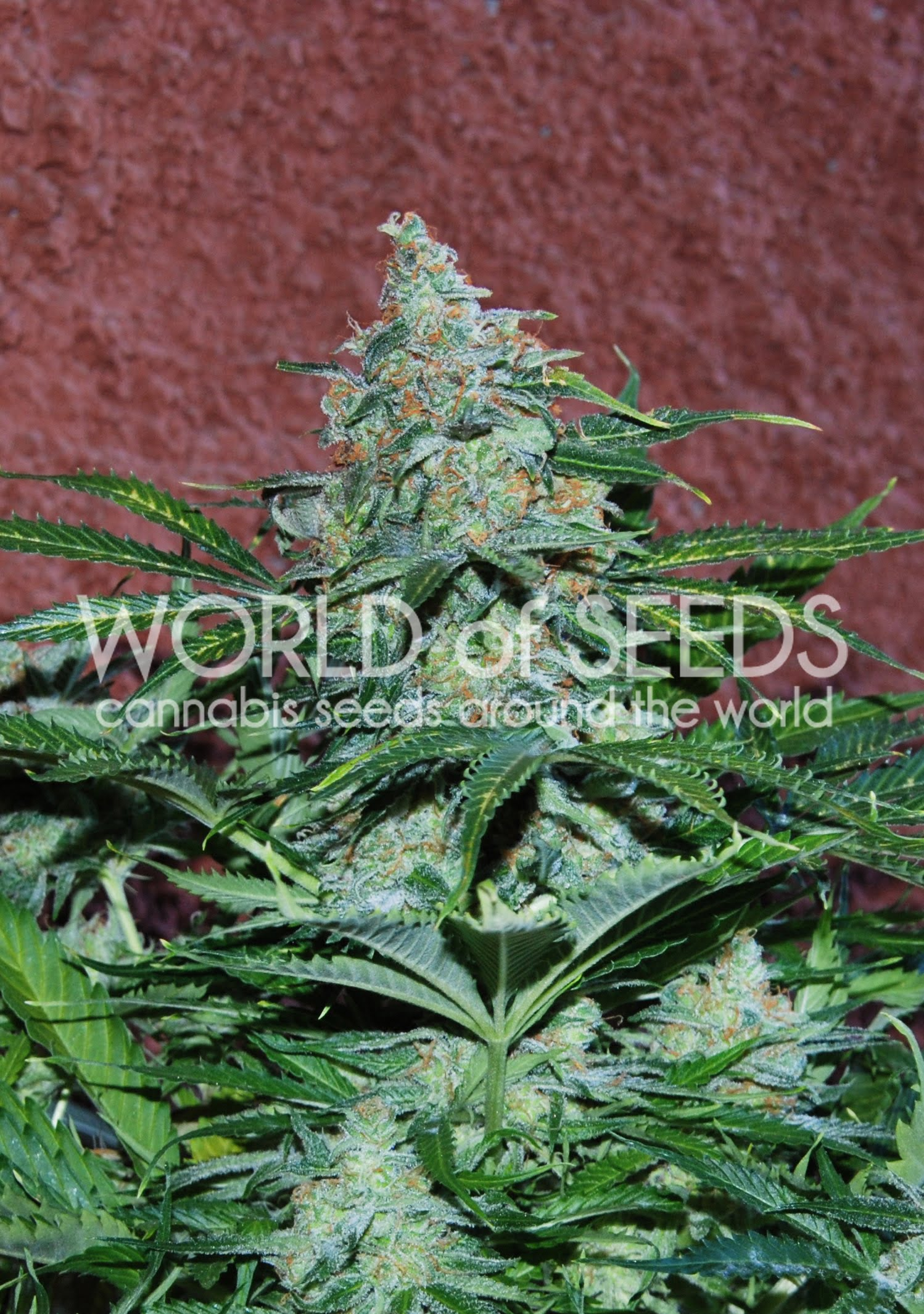 Amnesia Ryder Auto Feminised Seeds-WOS-AMNS-Auto-Fem-12