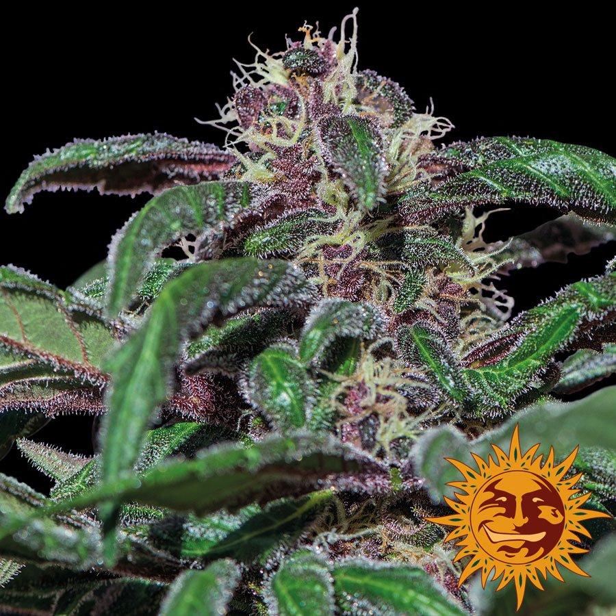 Феминизированные семена аяхуаски Purple-BFSAP-F10