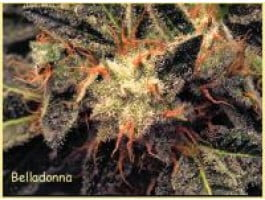 Bella Donna Feminised Seeds-para-1049-3