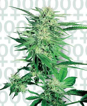 Big Bud Feminised Seeds-SENF1562501