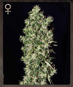 Фемінізовані насіння великого зуба-SH-BGTO-10