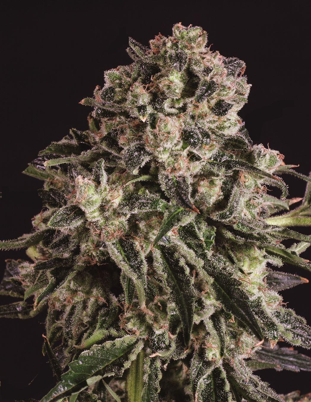 Феминизированные семена Black Critical x SCBDX-SCBDX-BLKCR-FEM-10