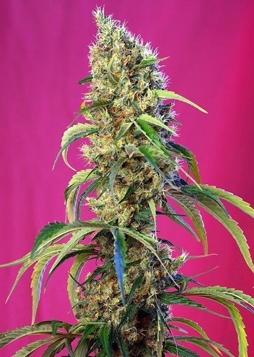 Black Jack CBD Feminised Seeds-SS-BJ-CBD-Fem-5
