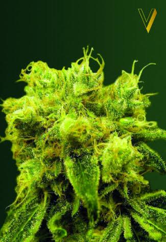 Blow Dream Feminised Seeds-VICS-BLKDR-Fem-10
