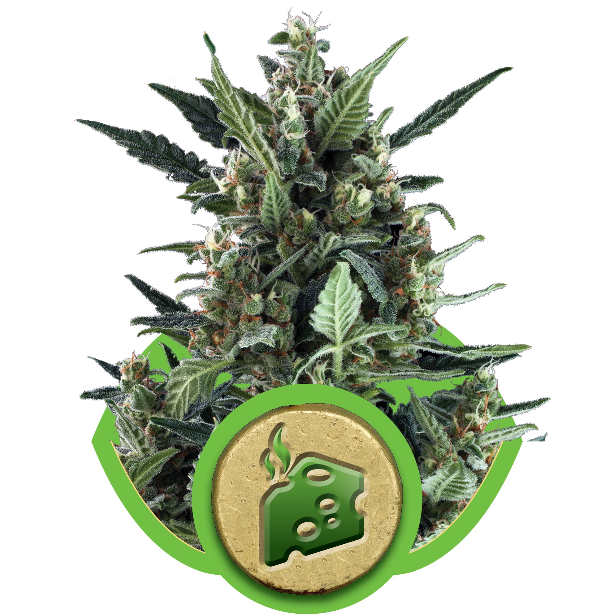 Blue Cheese Auto Feminised Seeds-RQS-BLCH-Auto-Fem-10