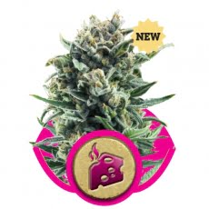 Blue Cheese Feminised Seeds-RQS-BLCH-Fem-10