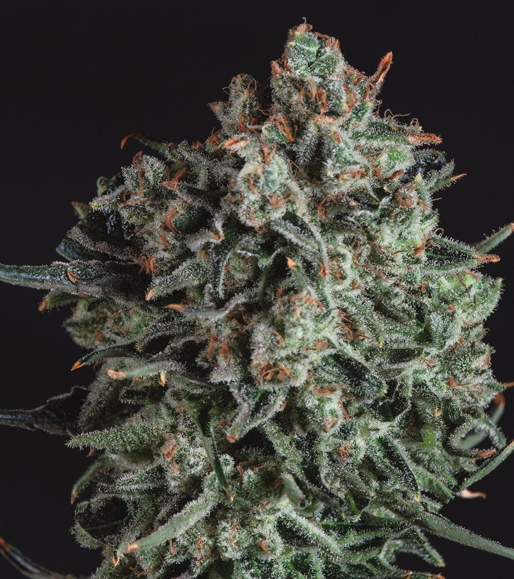 Blue Cheese x SCBDX Феминизированные семена-SCBDX-BLUCH-FEM-10
