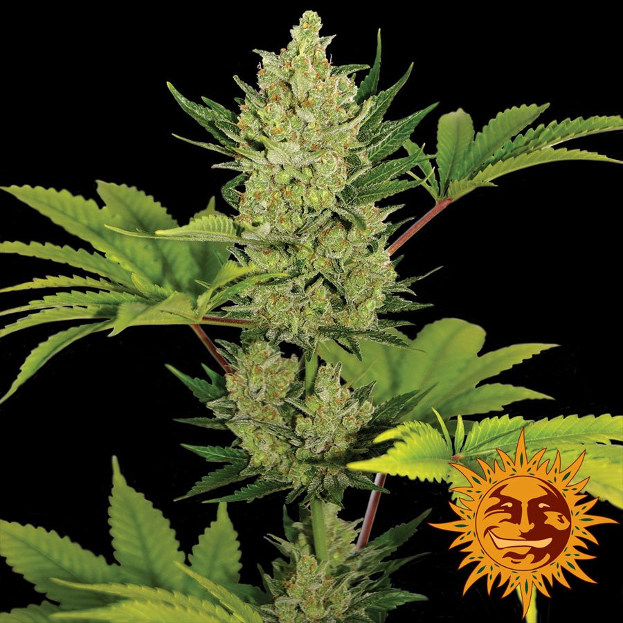 Blueberry Cheese Auto Feminised Seeds-BFBLCH-Auto-Fem-1
