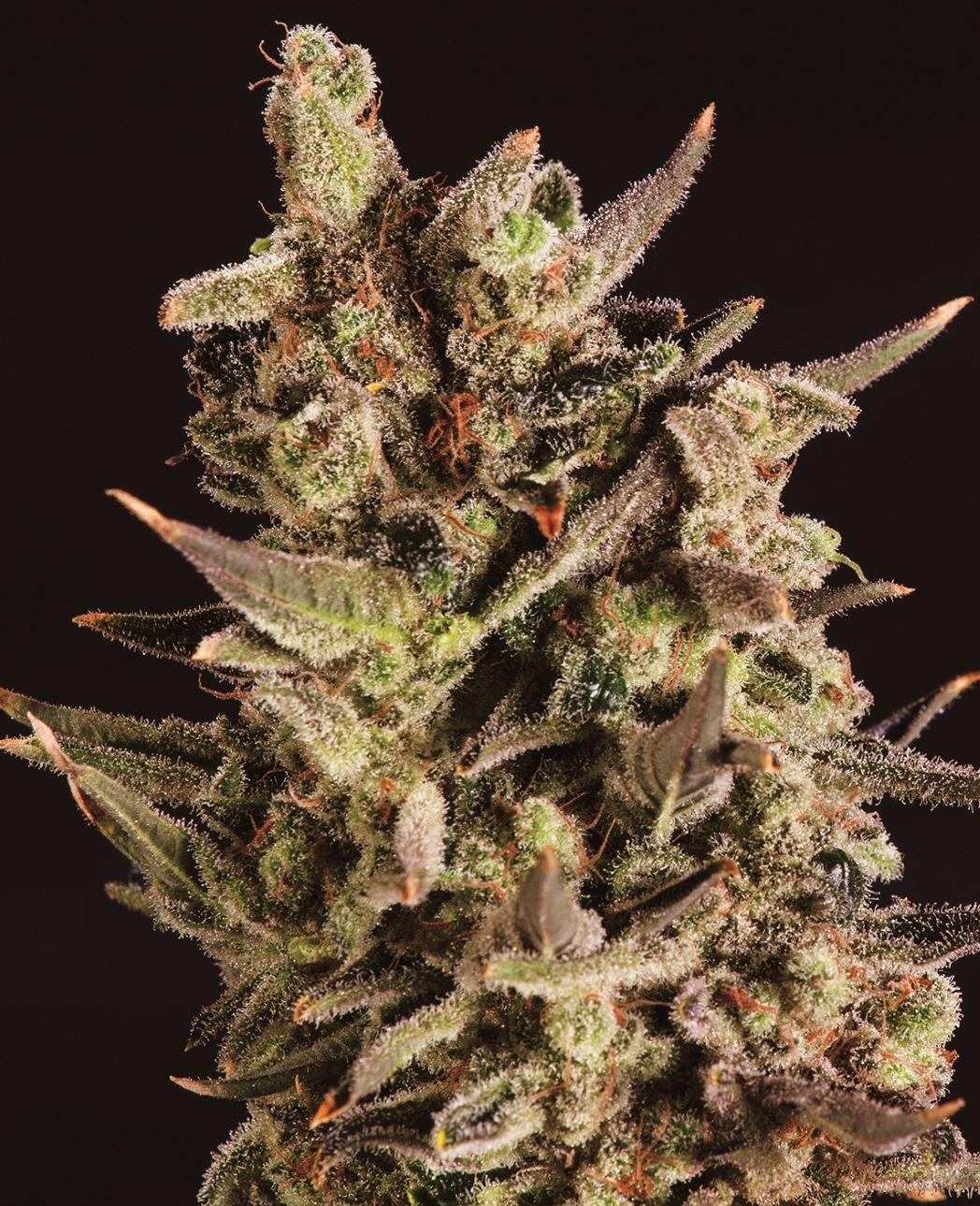 Повязка на голову Blueberry x SCBDX Feminised Seeds-SCBDX-BLUHEAD-FEM-10