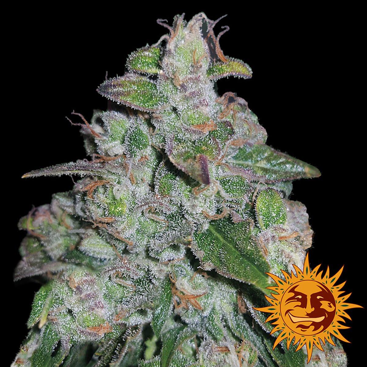 Феминизированные семена Blueberry OG-BFSBLOG-F10