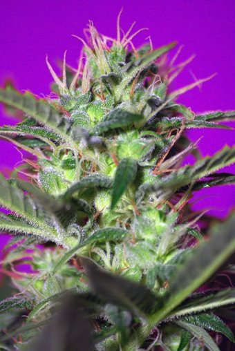Botafumeiros Feminised Seeds-SS-BO-Fem-5