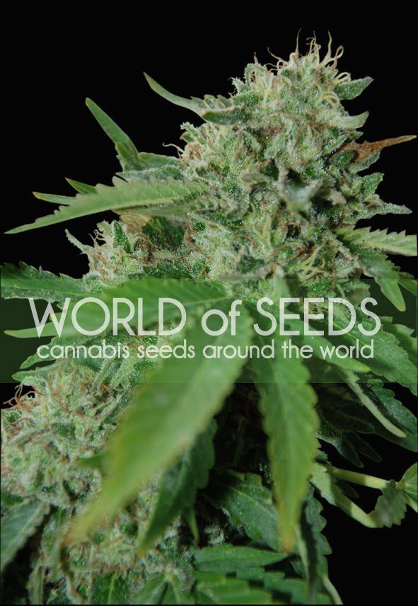 Бразилия Amazonia Feminised Seeds-WOS3-4050842
