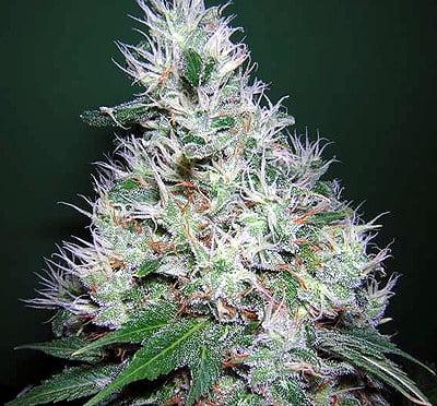 Феминизированные семена Bubble Gum - 6-SRSBG-FEM