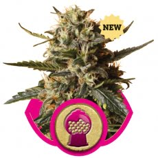 Bubblegum XL Feminised Seeds-RQS-BGXL-Fem-10