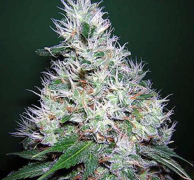Обычные семена жевательной резинки-SRSBG