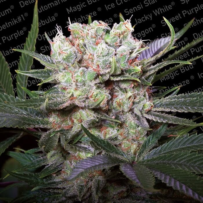 Californian Gold Feminised Seeds-PARA-1065-3