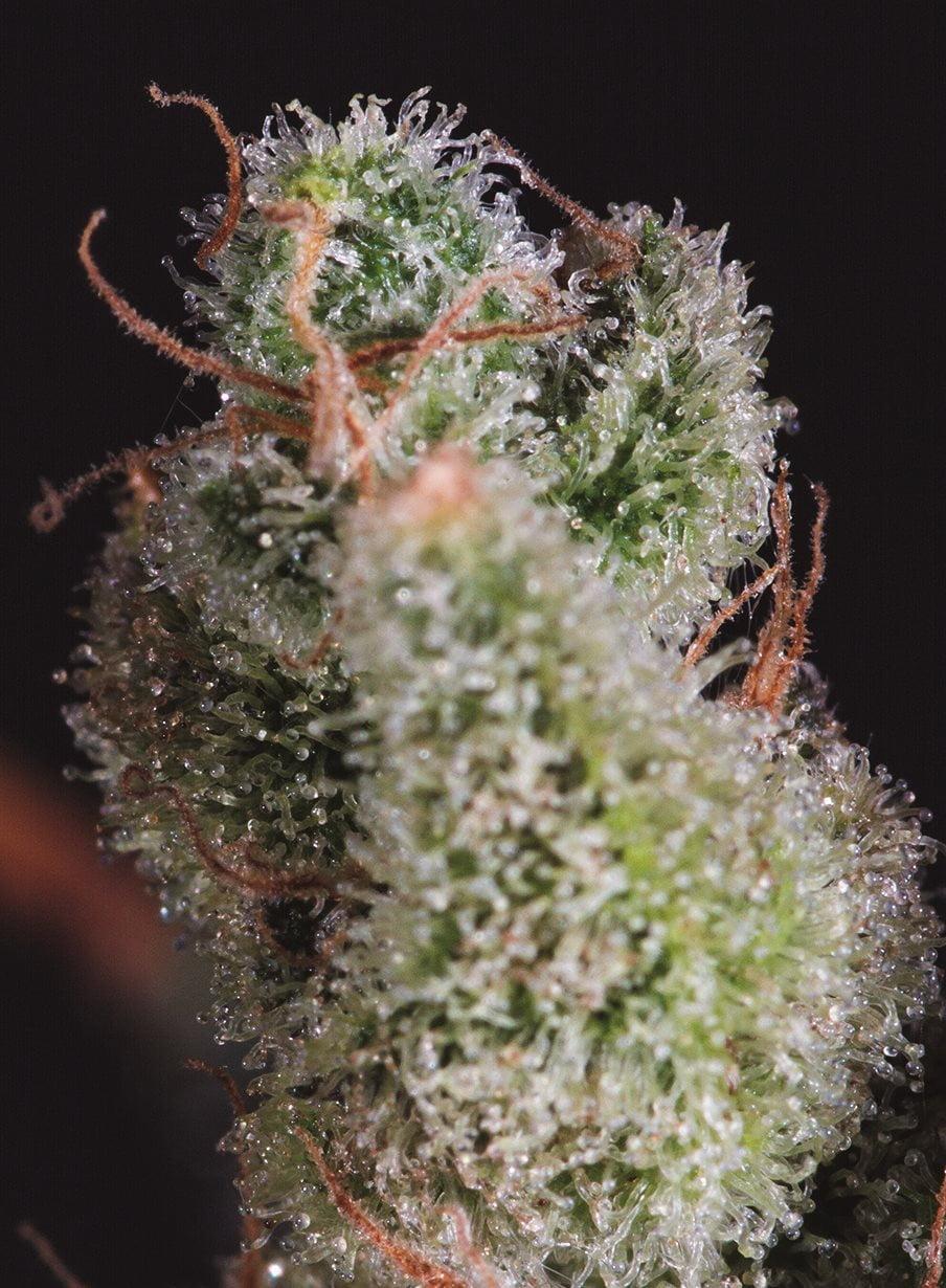 Cheese x SCBDX Feminised Seeds-SCBDX-CH-FEM-10