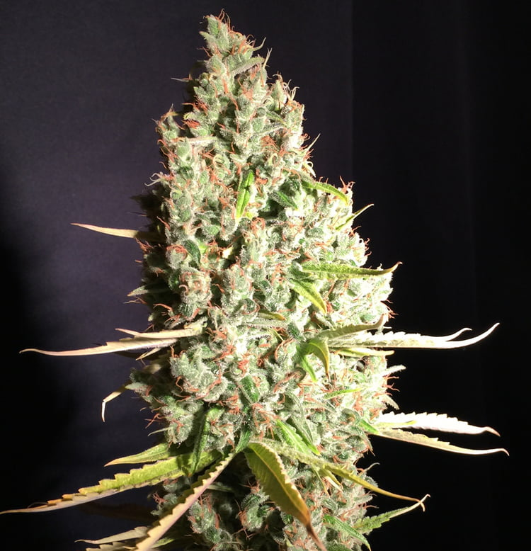 Chicle aka BubbleDawg Feminised Seeds-THS-S054-2