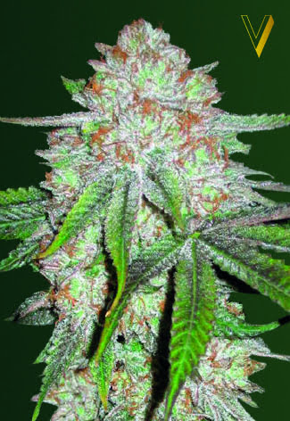 Chocodope Auto Feminised Seeds-VICS-CHDP-AUTO-Fem-10