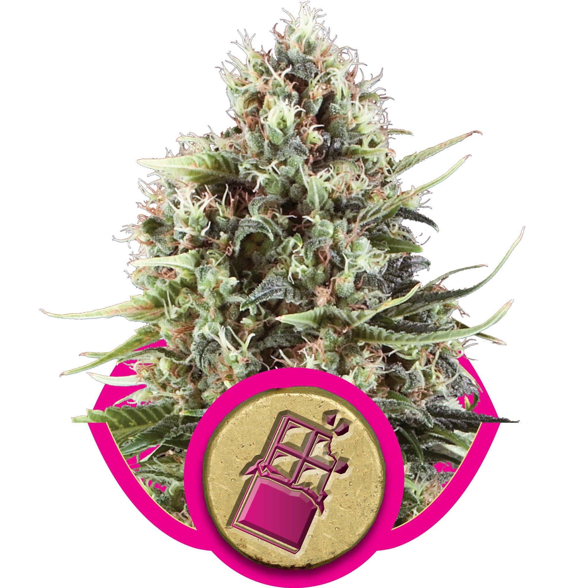 Феминизированные семена Chocolate Haze-RQS-CHOCH-Fem-10