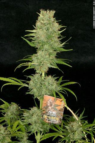Chocolope Feminised Seeds-DNA-CHOCO-FEM-3