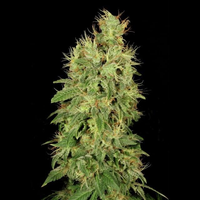 Феминизированные семена Chronic CBD - 6-SRSCBDCHR-FEM