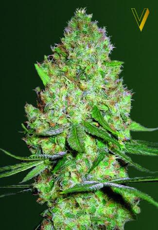 Chronic Monster XXL Feminised Seeds-VICS-CMTRXXL-Fem-10