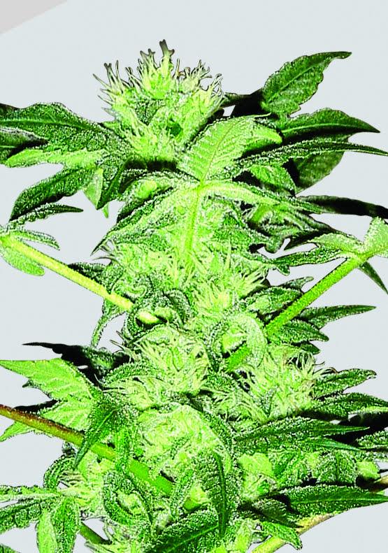Chrystal Regular Seeds - 10-NV-CHRYS-REG