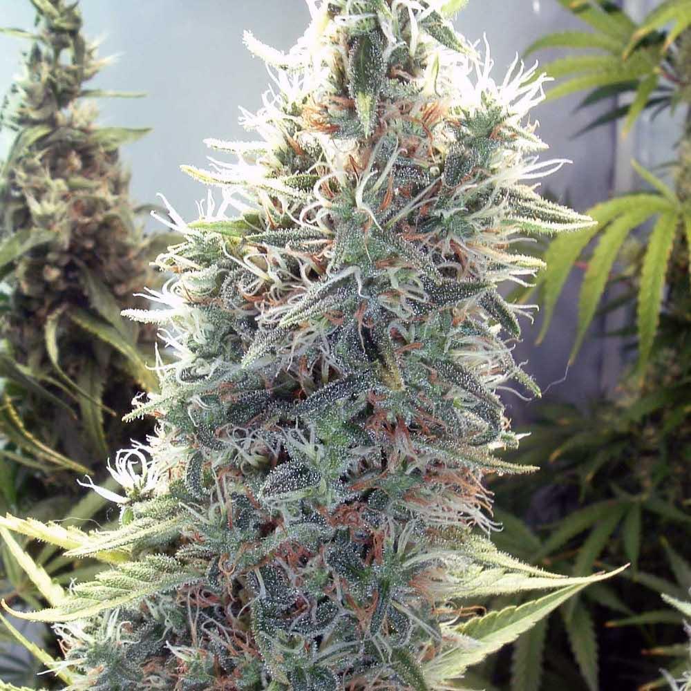 Cinderella 99 Феминизированные семена-FMLC99